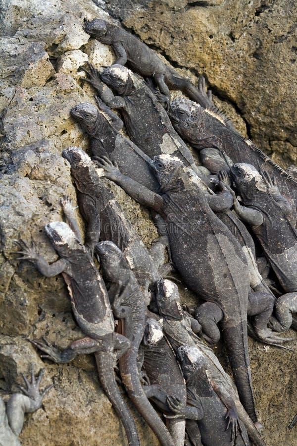 Download Marine iguanas stock photo. Image of amblyrhynchus, island - 20426692