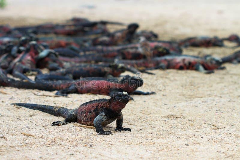 Marine Iguanas stock foto's