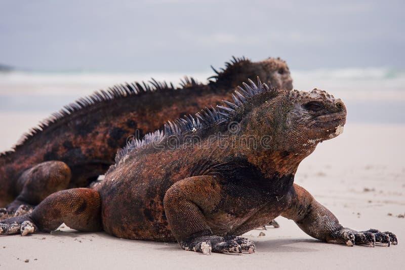 Download Marine iguanas on beach. stock photo. Image of closeup - 19404856
