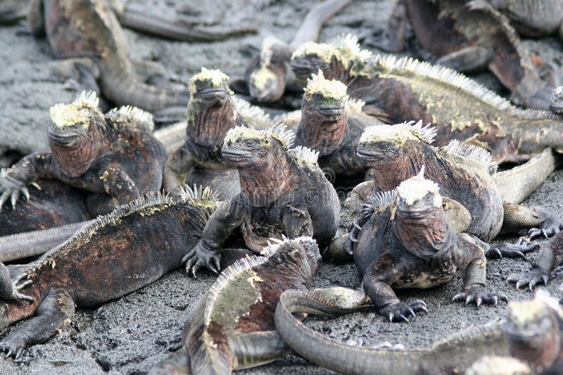 Download Marine Iguanas, Galapagos stock photo. Image of place - 5165866