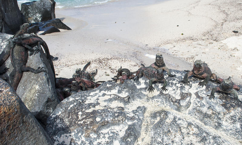 Marine Iguanas, Galapagos Islands, Ecuador. Muddle of marine Iguanas, Galapagos Islands, Ecuador stock images