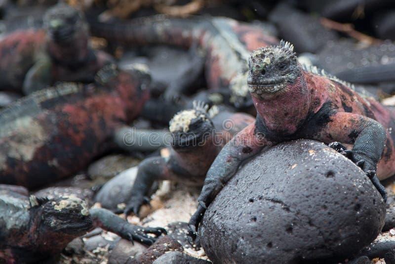 Marine iguanas - Isla Espanola, Galapagos. Huge group of marine iguanas hanging out on the rocks on Isla Espanola stock image