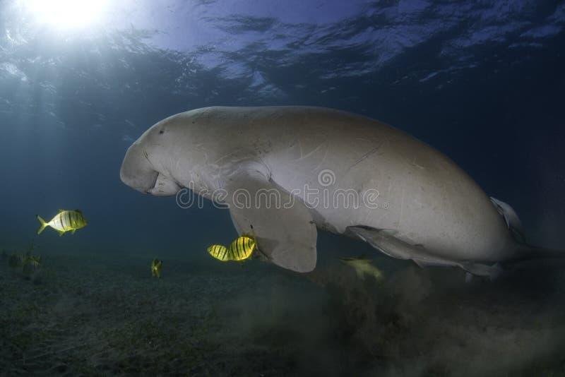Marine life. A manatee and fish underwater