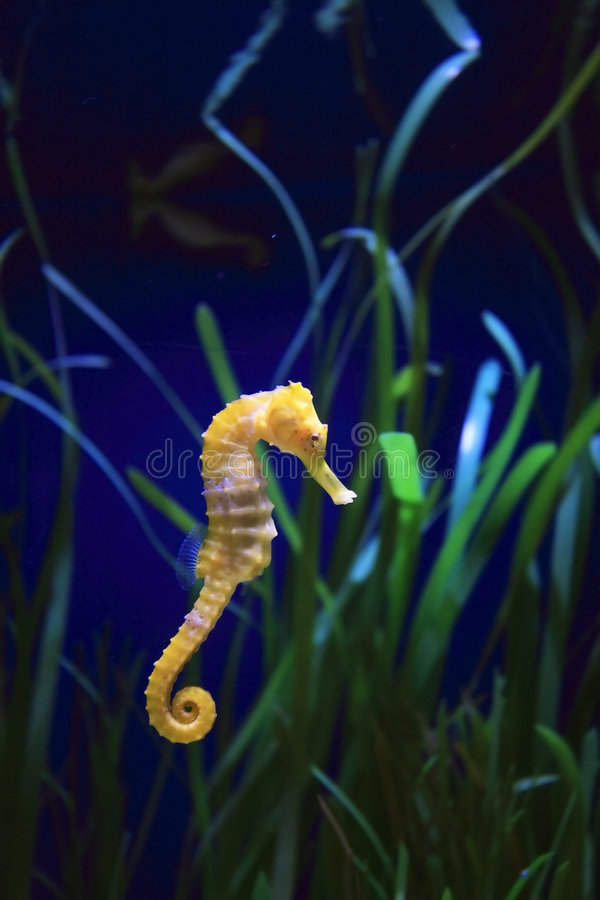 Marine life. Underwater image of a sea dragon