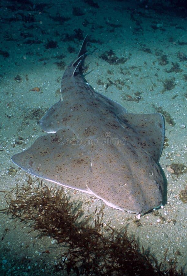 Marine Life - Angel Shark stock photos