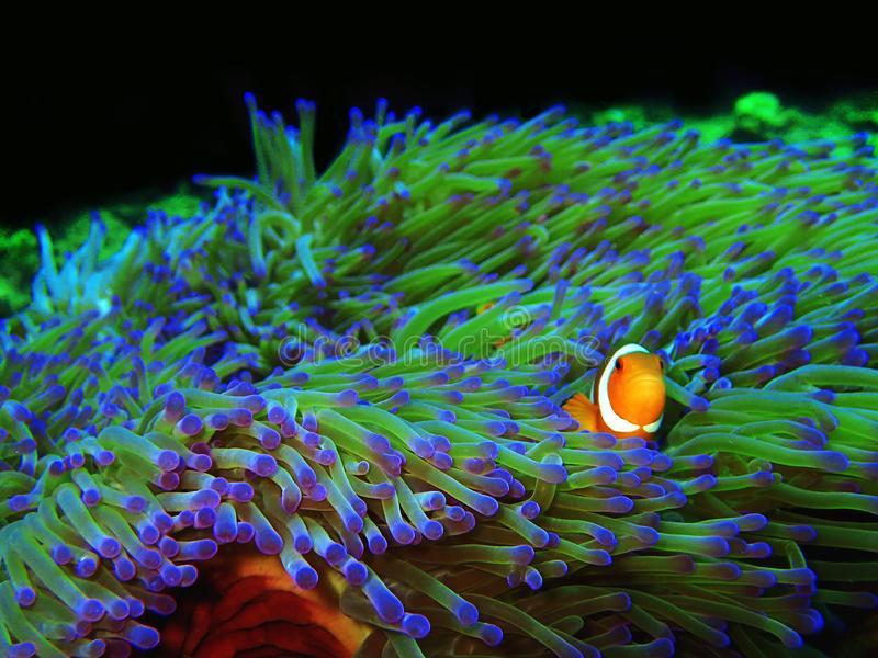 The beauty of underwater world diving in Borneo, Sabah. stock image