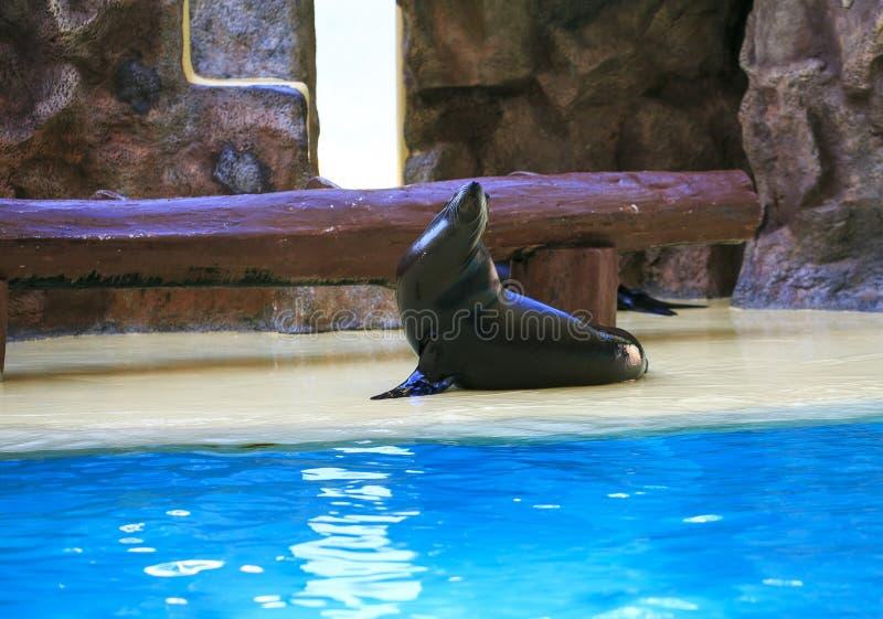 Marine Lion em uma mostra do jardim zoológico fotos de stock