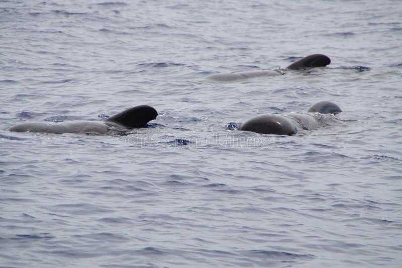 Marine Mammal, Sea, Ocean, Wildlife stock image