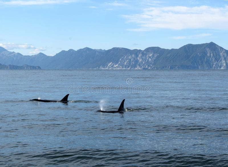 Marine Mammal, Whales Dolphins And Porpoises, Ocean, Water royalty free stock image