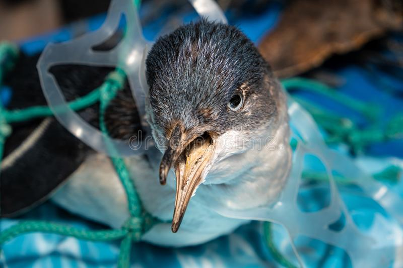 Penguin trapped in plastic net. royalty free stock photo