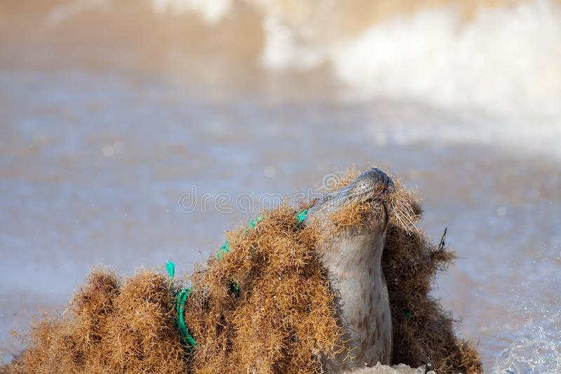 Marine pollution. Seal caught tangled in nylon plastic fishing net discarded at sea. Abandoned fishing gear and environmental waste endangering wildlife stock photos