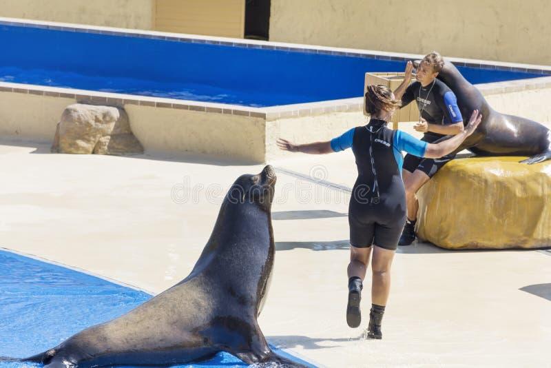 Marine Seal avec un entraîneur photos stock