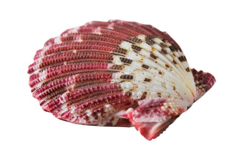 Download Marine shell stock photo. Image of souvenir, molluscs - 16309950