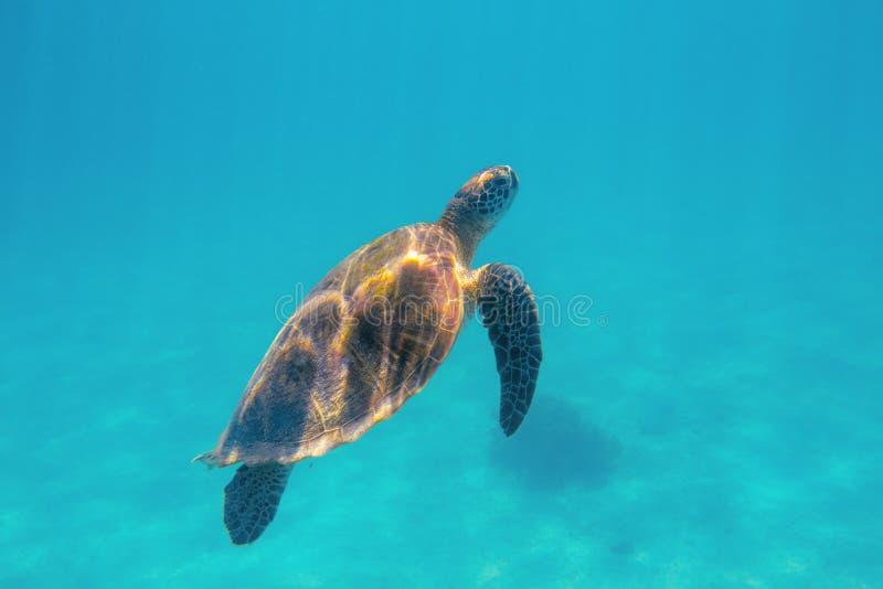 Marine turtle in aqua blue sea. Coral reef animal underwater photo. Marine tortoise undersea royalty free stock photos
