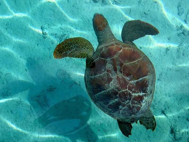 Marine turtle in Bora Bora stock image