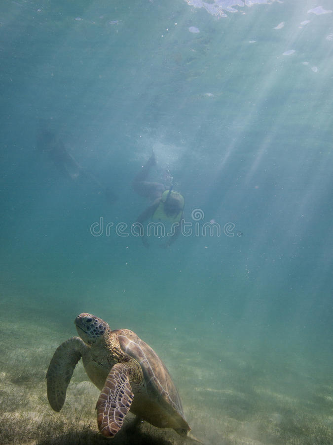 Marine turtle and divers stock photo