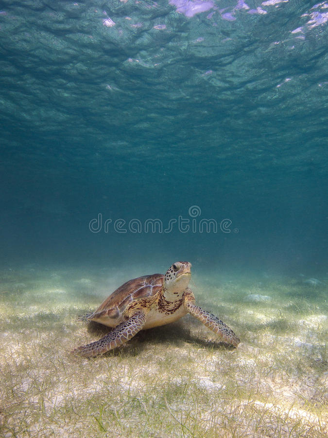 Marine turtle free royalty free stock images