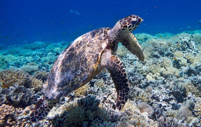Marine turtle on Gili Meno, Indonesia stock images