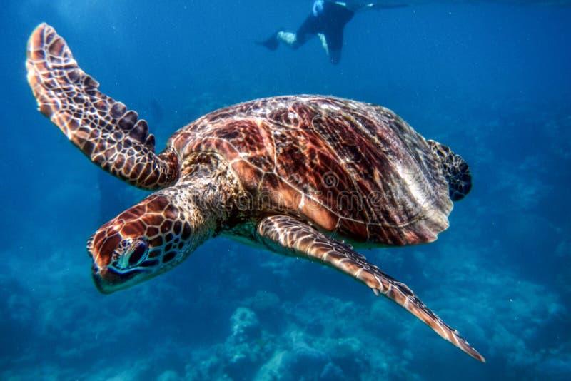 Marine Turtle no grande recife de coral, Austrália fotografia de stock royalty free