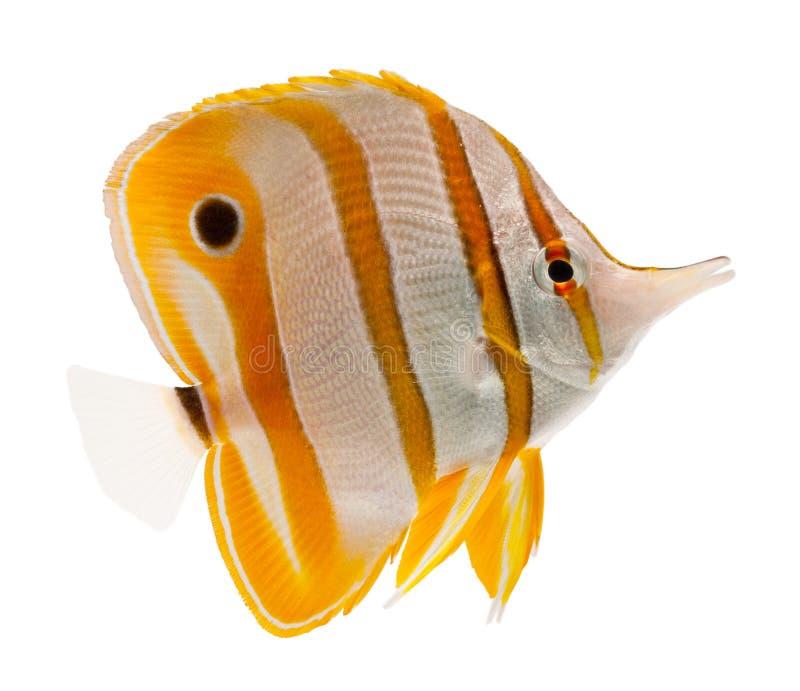Marinefische, Schnabel coralfish, copperband butterflyf lizenzfreies stockbild