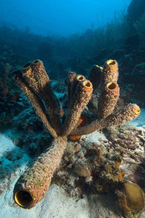 Marinerohrschwamm auf Korallenriff in den Karibischen Meeren lizenzfreie stockfotografie