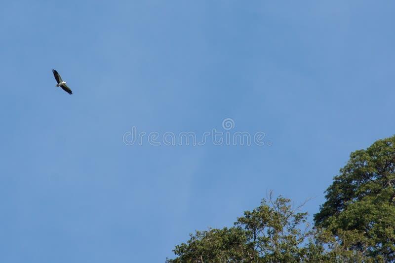Marino Eagle dal ventre bianco che vola sopra con le ali completamente ha sparso blu immagine stock libera da diritti