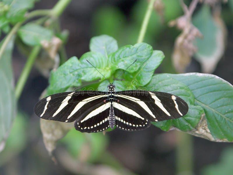 Mariposa 1 de Longwing de la cebra imagen de archivo libre de regalías