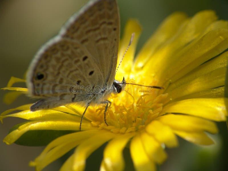 Download Mariposa imagen de archivo. Imagen de flor, invertebrado - 184431