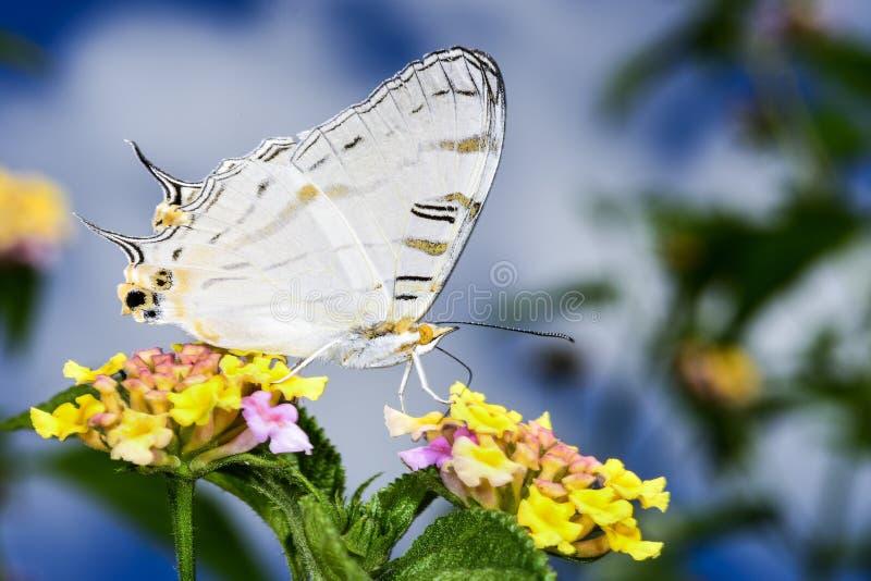 Mariposa africana de la correspondencia, ranomafana imagenes de archivo