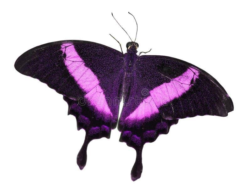 Mariposa aislada en blanco foto de archivo libre de regalías