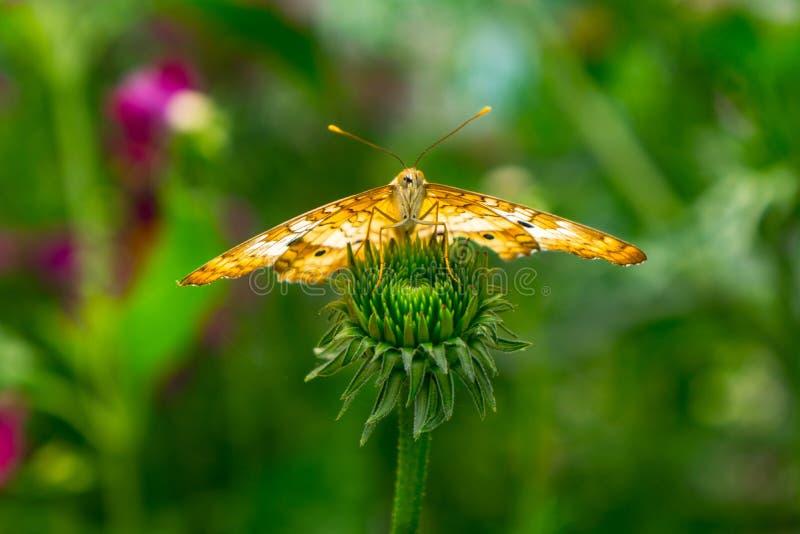 Mariposa amarilla en fondo borroso del jardín del brote de flor fotos de archivo