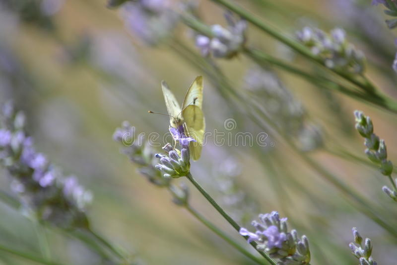 Mariposa amarilla en la lavanda fotografía de archivo
