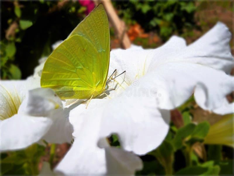 Mariposa amarilla en una flor blanca imagenes de archivo