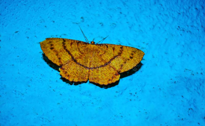 Mariposa amarilla hermosa con el fondo azul imágenes de archivo libres de regalías