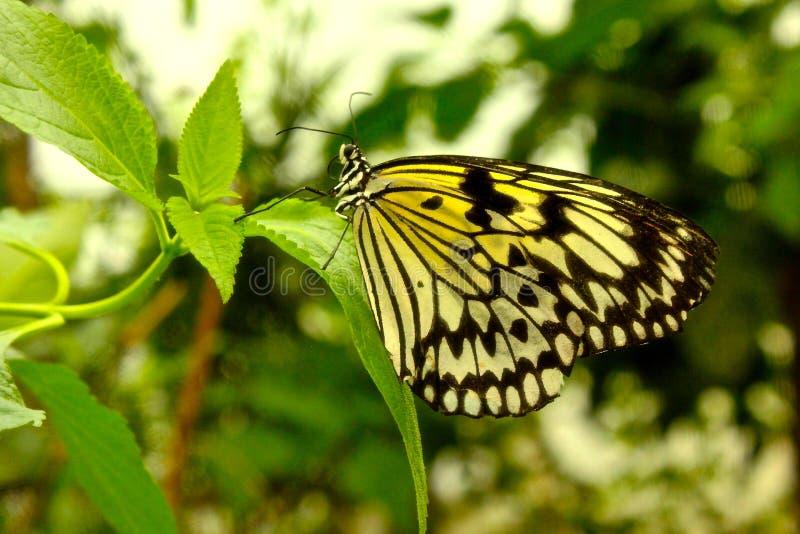 Mariposa amarilla y negra fotografía de archivo