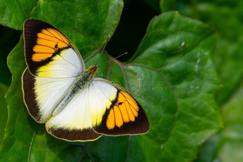Mariposa amarillo-naranja de la extremidad que se encarama en la hoja en una posici?n prominente, soleada foto de archivo