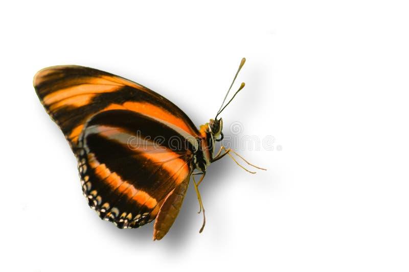 Mariposa anaranjada aislada en blanco fotos de archivo libres de regalías