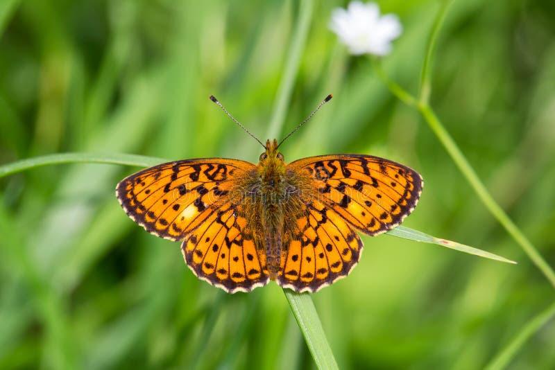 Mariposa anaranjada asombrosa en hierba con el fondo blured fotografía de archivo libre de regalías