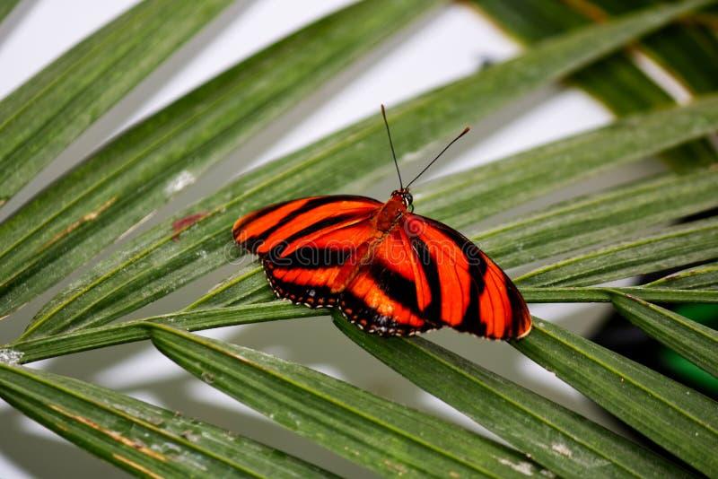 Mariposa anaranjada congregada cautivo en una hoja foto de archivo