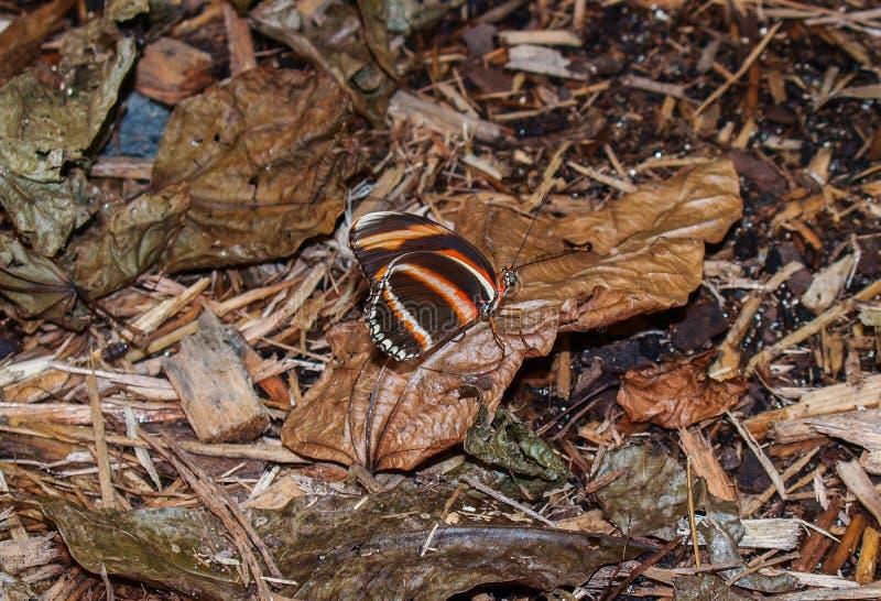 Mariposa anaranjada congregada Dryadula imágenes de archivo libres de regalías
