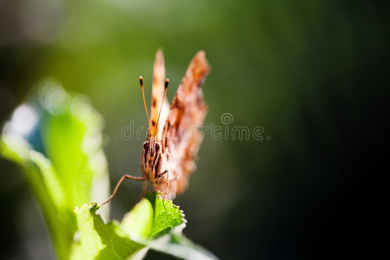 Mariposa anaranjada de la visión macra en la hoja verde Campo de la profundidad baja Foco selectivo imagenes de archivo