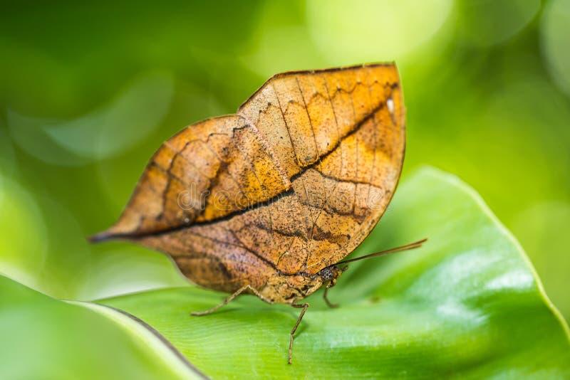 Mariposa anaranjada del oakleaf fotografía de archivo