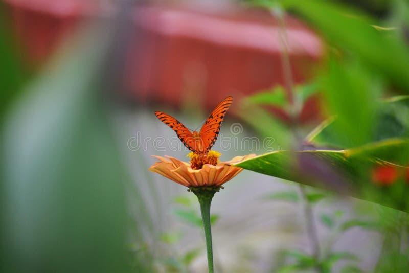 Mariposa anaranjada en la flor anaranjada imagen de archivo libre de regalías