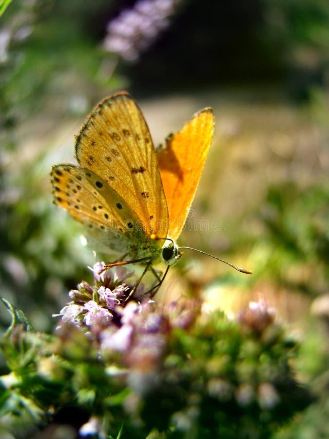 Mariposa anaranjada en la flor de la menta imagen de archivo