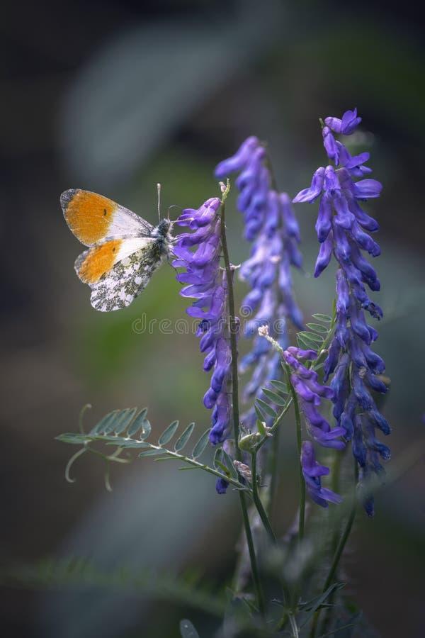 Mariposa anaranjada en la flor fotos de archivo