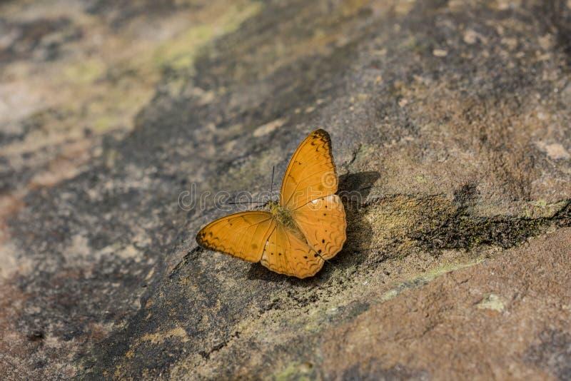 Mariposa anaranjada en la selva de Camboya fotografía de archivo libre de regalías