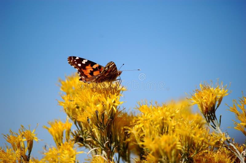 Download Mariposa Anaranjada En Las Flores Amarillas Foto de archivo - Imagen de flores, sudoeste: 7280258