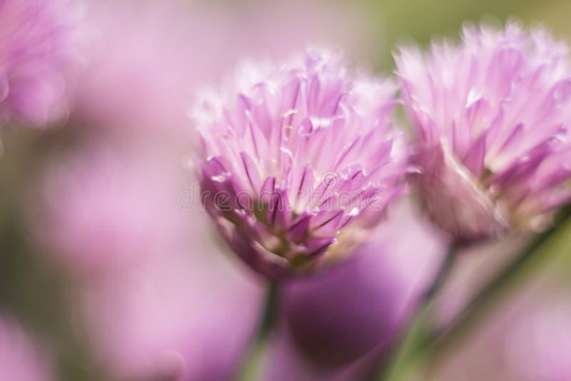 Mariposa anaranjada en una flor de la lila, tiro macro, día soleado del verano Fondo rosado Foco selectivo Bokeh, espacio para el imagenes de archivo