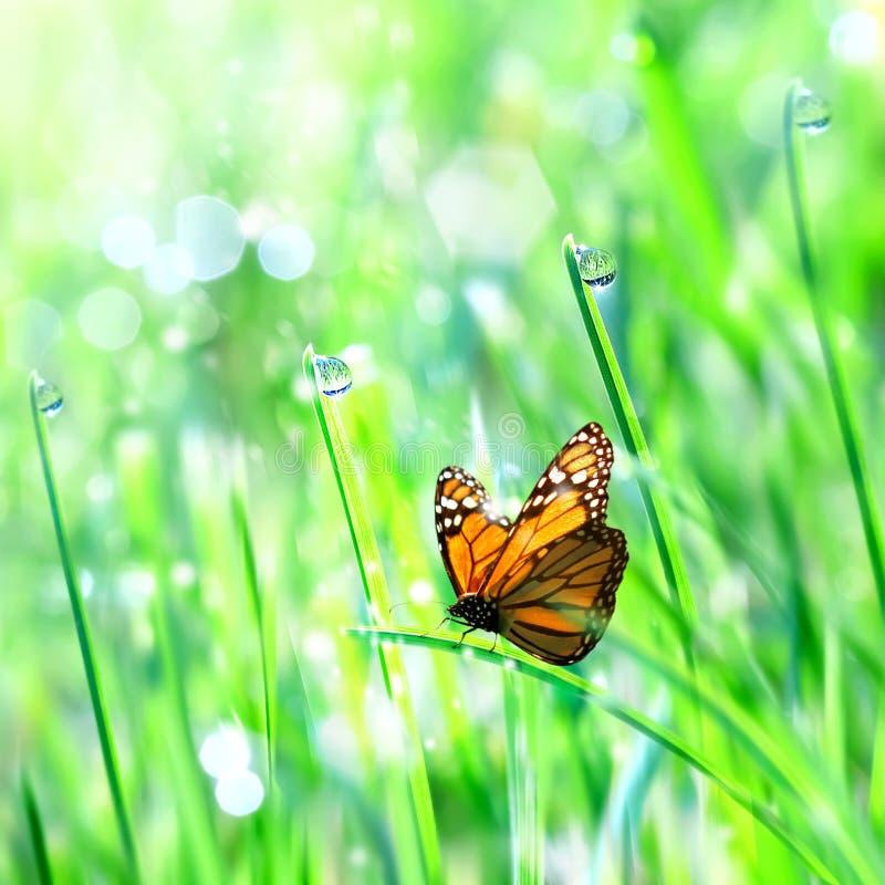 Mariposa anaranjada hermosa en la hierba blanda verde con descensos de roc?o Fondo fresco de la primavera del verano Espacio de l foto de archivo libre de regalías