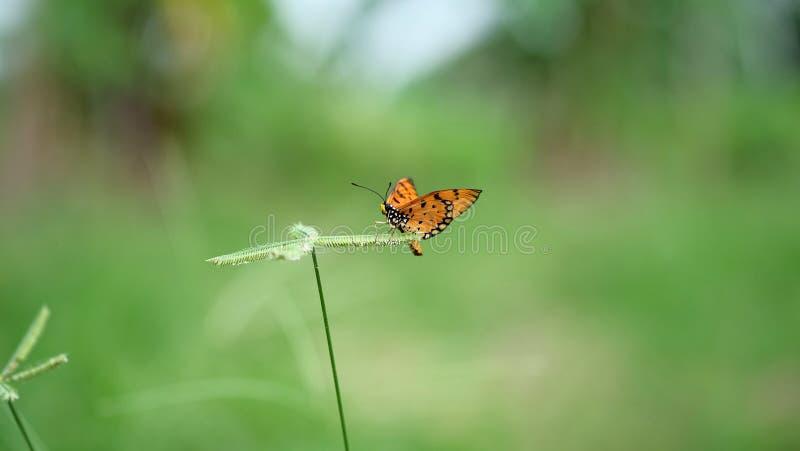 Mariposa anaranjada sobre la flor de la hierba imagen de archivo libre de regalías